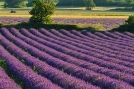 feature_Lavender-Fields