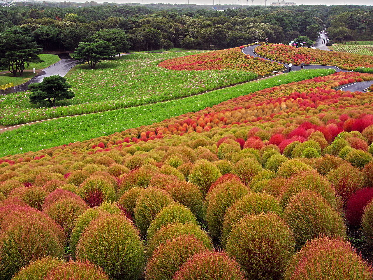 These Bassia plants change colors according to the season.