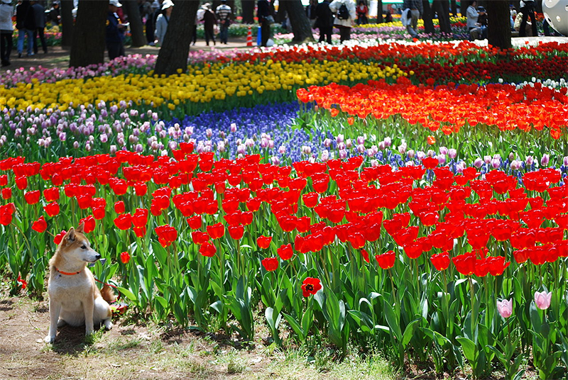 You can find tulips of all colors here.