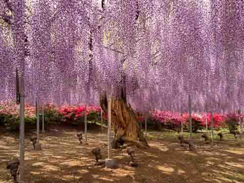 Ashikaga Flower Park wisteria tree