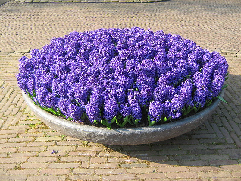 Pot of flowers on dispolay at the Keukenhof Garden