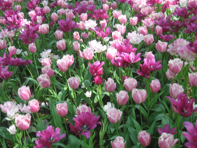 Filed of flowers in the Keukenhof Garden