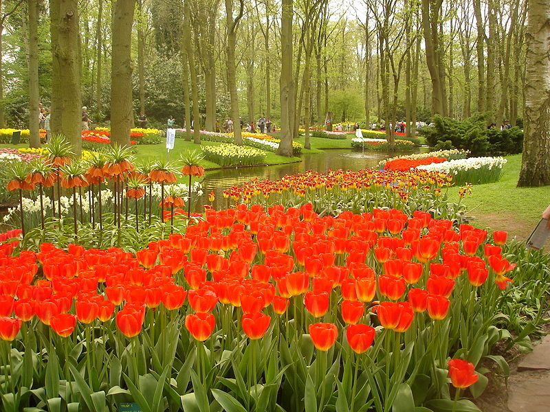 A sea of red in the Keukenhof Garden.