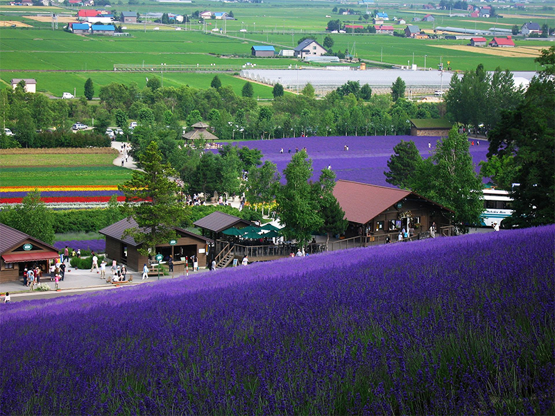 A sloping field of lavender flowers
