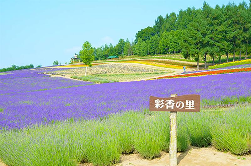 Lavender fields in summer
